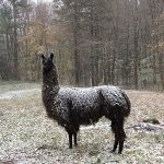 Brown alpaca covered in a light snow, standing in snow-covered field