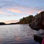 Yellow dog looking out over a lake, with autumn trees and pink clouds in background