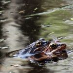 Two frogs mating in the water