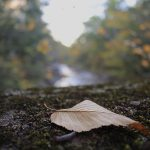 Brown leaf laying on ground, out-of-focus river and autumn trees in background
