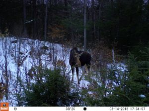Adult female moose in patch cut clearing with snow on the ground, trees in background