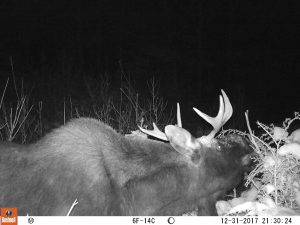 Night black-and-white image of male moose with small antlers feeding on shrubs