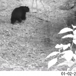 Black-and-white still image from a wildlife camera video of a black bear next to a vernal pool