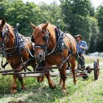 Two brown draft horses harnessed to antique farm equipment pull farmer Lincoln Fishman as they cut hay.