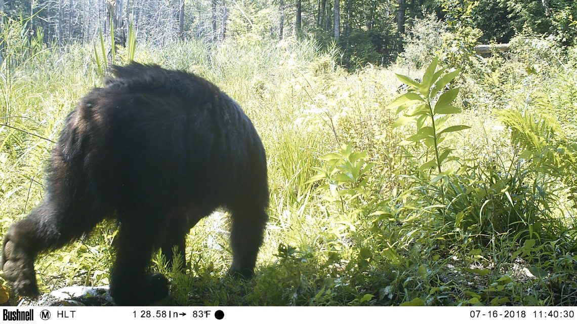 Adult black bear, walking through wetland away from camera