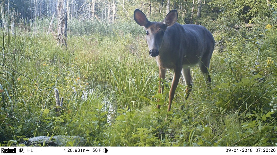Doe standing in wetlands, looking into camera