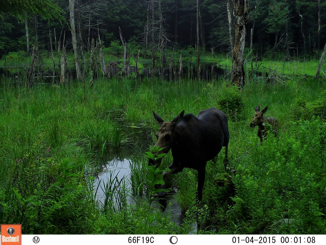 Moose cow walking through wetlands, with calf following