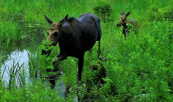A moose cow and her calf wade through a beaver pond at HLT's Stevens property