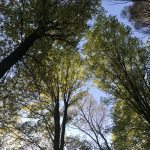 View of forest from the ground looking up at trees