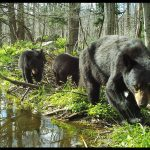 Wildlife camera photo of mother bear and three cubs walking along the edge of a pond