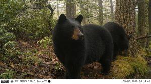 Bears in woods
