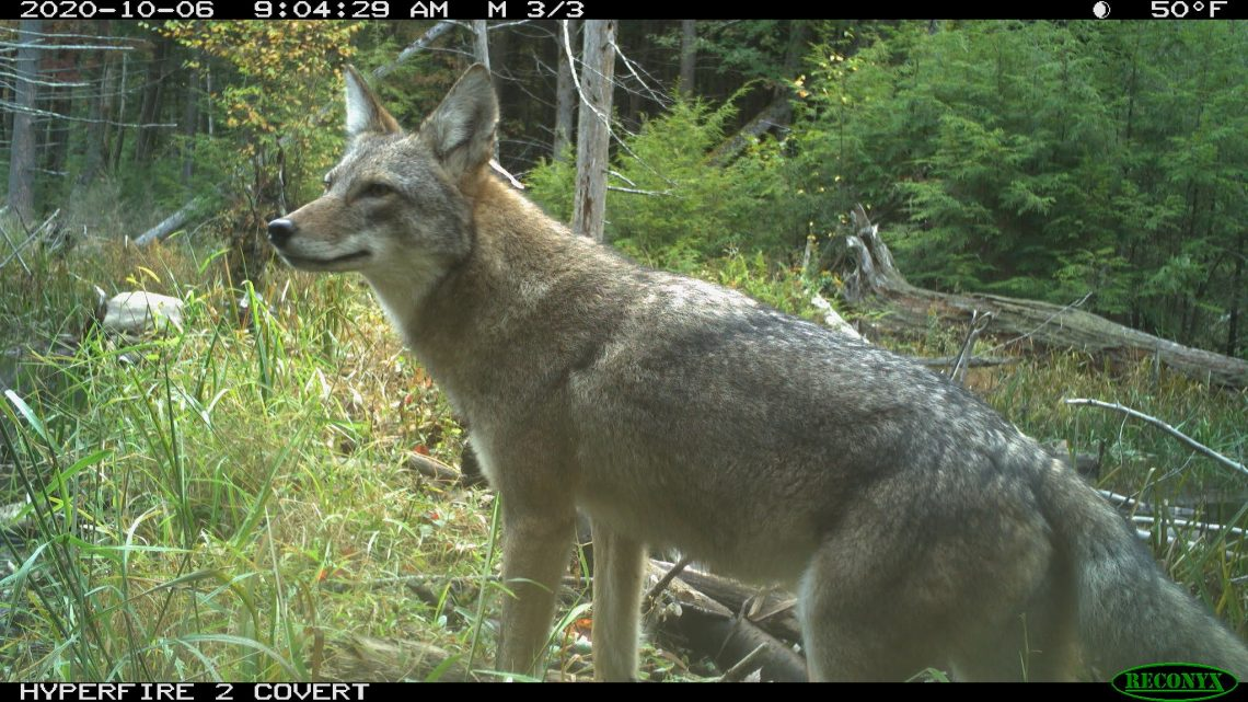 Wildlife camera capture of coyote