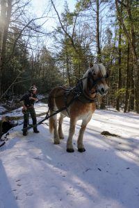 A logger and his horse remove a felled tree from a forest