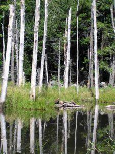 Kinnebrook beaver pond